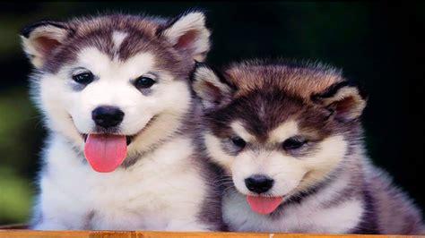 10 Funniest Husky Videos | FunnyCat.TV