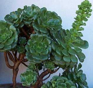 Aeonium, Aeonio, Planta del aire, Siempreviva arbórea ...