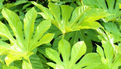 Aspidistra   ficha de planta   jardinería   Hogarmania