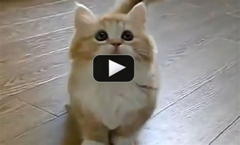 Awesomely cute cat video