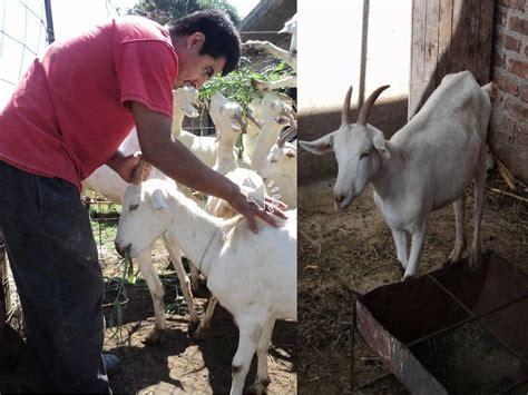 capitulo 4  Alimentacion  de audiomanual cabras lecheras ...