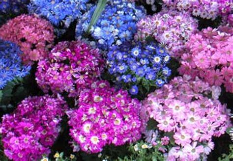Cineraria híbrida, Cineraria con flor   Senecio cruentus ...