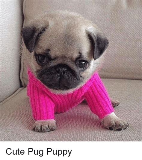 Cute Pug Puppy | Cute Meme on SIZZLE