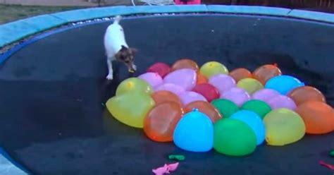 Dieron a su Perro algunos globos de agua, y esto fue lo ...