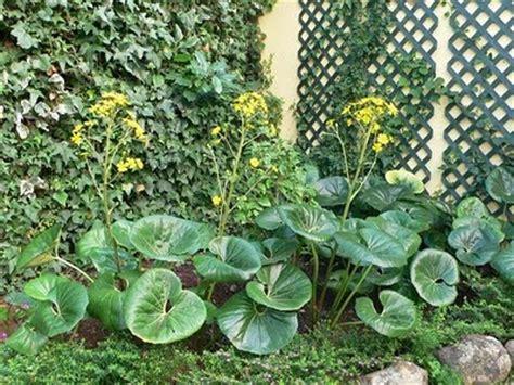 Ficha de boina de vasco  Farfugium japonicum