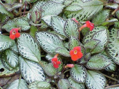 Ficha de la Episcia | Plantas