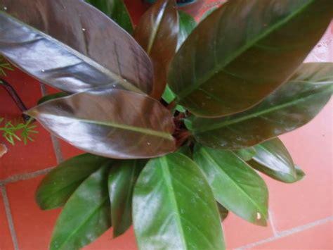 Ficha del Philodendron | Plantas