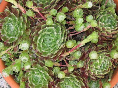 fichas de crasas | Cuidar de tus plantas es facilisimo.com