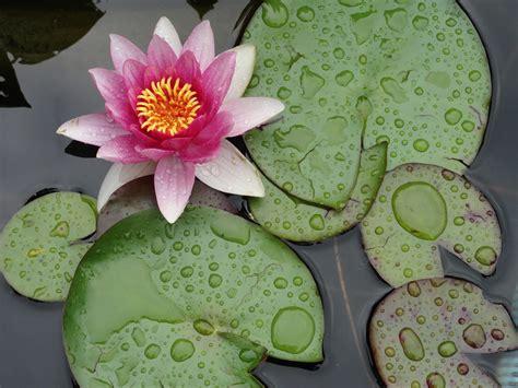 fleurs nénuphars goutte d' eau images gratuites | images ...