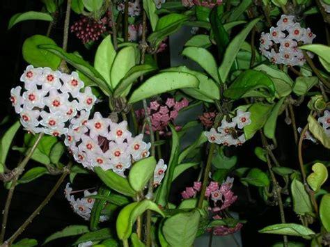 Floarea de ceara   o minunata planta decorativa de ...