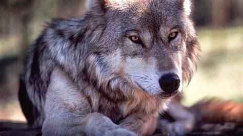 Fondos para escritorio de lobos | Fondos de Pantalla