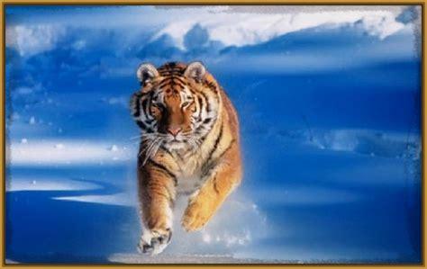 fotos de tigres para pintar Archivos | Imagenes de Tigres