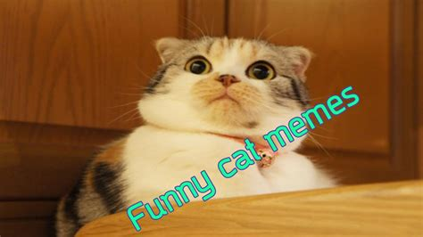 Funny animal videos :Funny cute cat memes   YouTube