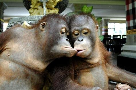 funny picture two monkeys kissing   Cute Creations ...
