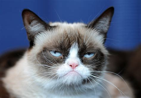 Grumpy Cat   Pictures, Breed, Personality, History ...