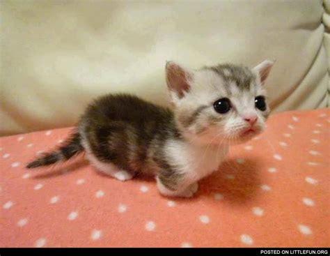 LittleFun   Munchkin. Cutest kitten ever.