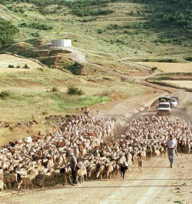Más de 1.300 ovejas trashumantes llegarán a León el ...