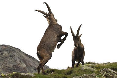 Opiniones de cabra salvaje
