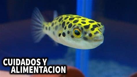 PEZ GLOBO DE AGUA DULCE   CUIDADOS Y ALIMENTACION DEL PEZ ...
