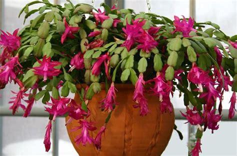 Plante de interior, care înfloresc iarna   Ziarul Cuget ...