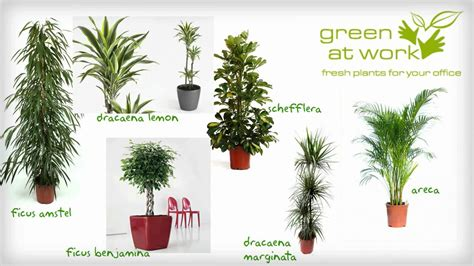 Plante decorative la birou   Greenatwork   YouTube
