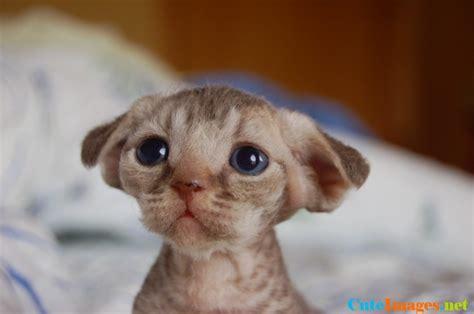 The cutest devon rex kitten ever! funny   CuteImages.net