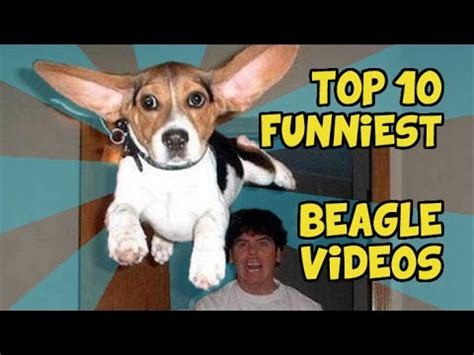 TOP 10 FUNNIEST BEAGLE VIDEOS   YouTube