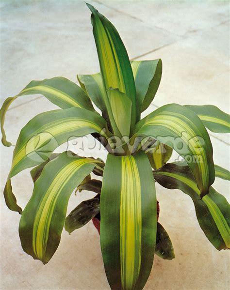 verdeesvida :: Fichas de plantas >> Plantas de interior