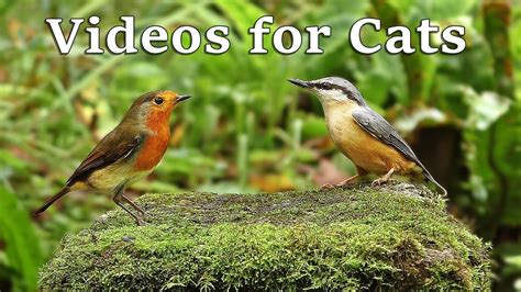 Videos for Cats to Watch   Birds and Bird Sounds in ...